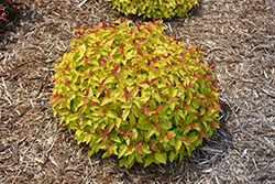 Double Play® Candy Corn® Spirea (Spiraea japonica 'NCSX1') at Town And Country Gardens