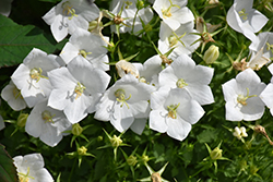 White Clips Bellflower (Campanula carpatica 'White Clips') at Town And Country Gardens