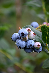 Chippewa Blueberry (Vaccinium 'Chippewa') at Town And Country Gardens