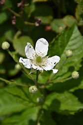 Baby Cakes™ Blackberry (Rubus 'APF-236T') at Town And Country Gardens