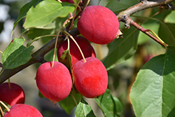 Dolgo Apple (Malus 'Dolgo') at Town And Country Gardens