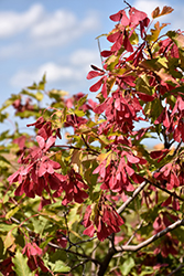 Amur Maple (Acer ginnala) at Town And Country Gardens