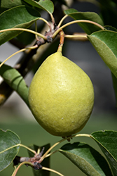 Early Gold Pear (Pyrus ussuriensis 'Early Gold') at Town And Country Gardens