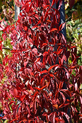 Red Wall® Virginia Creeper (Parthenocissus quinquefolia 'Troki') at Town And Country Gardens