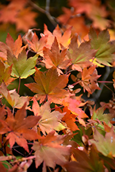 Korean Maple (Acer pseudosieboldianum) at Town And Country Gardens