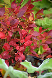 Jelly Bean® Blueberry (Vaccinium 'ZF06-179') at Town And Country Gardens