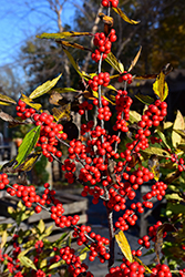Winterberry (Ilex verticillata) at Town And Country Gardens