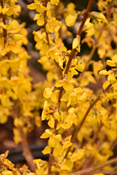 Show Off® Forsythia (Forsythia x intermedia 'Mindor') at Town And Country Gardens