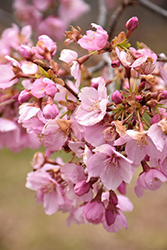 Pink Flair® Sargent Cherry (Prunus sargentii 'JFS-KW58') at Town And Country Gardens