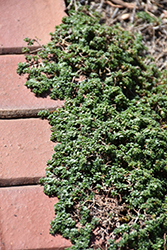 Elfin Creeping Thyme (Thymus praecox 'Elfin') at Town And Country Gardens
