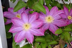 Pink Champagne Clematis (Clematis 'Pink Champagne') at Town And Country Gardens