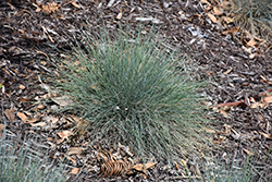 Boulder Blue Fescue (Festuca glauca 'Boulder Blue') at Town And Country Gardens