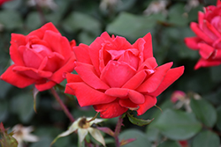 Double Knock Out® Rose (Rosa 'Radtko') at Town And Country Gardens