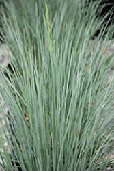 Sapphire Blue Oat Grass (Helictotrichon sempervirens 'Sapphire') at Town And Country Gardens