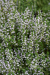 Doone Valley Thyme (Thymus 'Doone Valley') at Town And Country Gardens