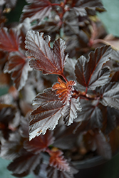 Fireside® Ninebark (Physocarpus opulifolius 'Fireside') at Town And Country Gardens