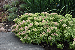 Autumn Delight Stonecrop (Sedum 'Autumn Delight') at Town And Country Gardens