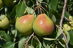 Parker Pear (Pyrus 'Parker') at Town And Country Gardens