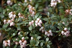 Massachusetts Bearberry (Arctostaphylos uva-ursi 'Massachusetts') at Town And Country Gardens