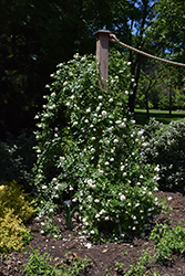 Iceberg Rose (Rosa 'Iceberg') at Town And Country Gardens