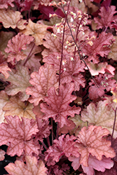 Ginger Peach Coral Bells (Heuchera 'Ginger Peach') at Town And Country Gardens