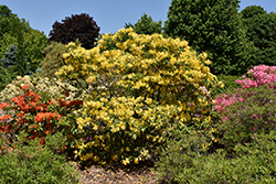 Lemon Lights Azalea (Rhododendron 'Lemon Lights') at Town And Country Gardens