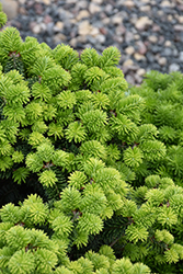 Piccolo Dwarf Balsam Fir (Abies balsamea 'Piccolo') at Town And Country Gardens