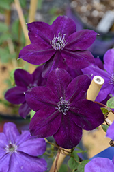 Amethyst Beauty Clematis (Clematis 'Amethyst Beauty') at Town And Country Gardens