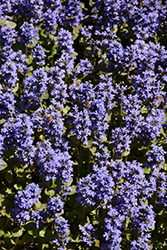 Common Bugleweed (Ajuga reptans) at Town And Country Gardens