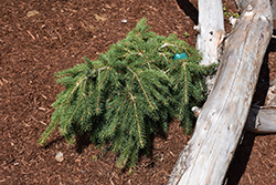 Formanek Norway Spruce (Picea abies 'Formanek') at Town And Country Gardens