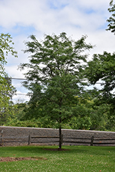 Northern Acclaim Honeylocust (Gleditsia triacanthos 'Harve') at Town And Country Gardens