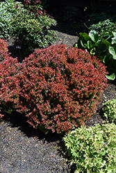 Golden Ruby Barberry (Berberis thunbergii 'Goruzam') at Town And Country Gardens
