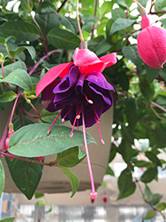 Dark Eyes Fuchsia (Fuchsia 'Dark Eyes') at Town And Country Gardens