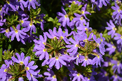 Whirlwind® Blue Fan Flower (Scaevola aemula 'Whirlwind Blue') at Town And Country Gardens
