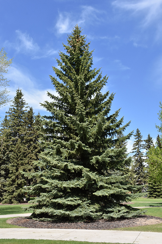 Blue Colorado Spruce Picea Pungens Var Glauca At Town And Country